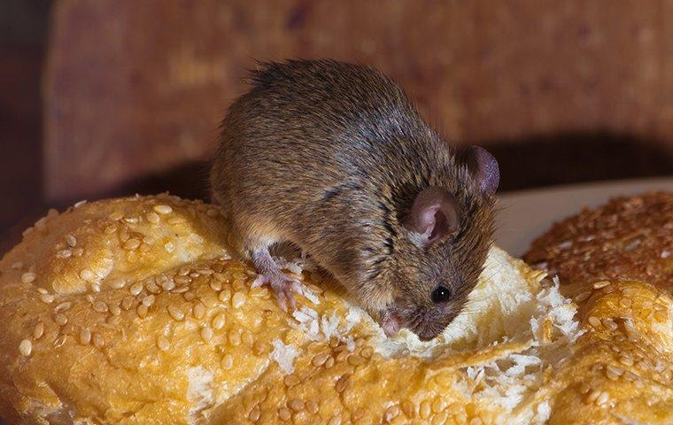 a mouse eating bread in the kitchen