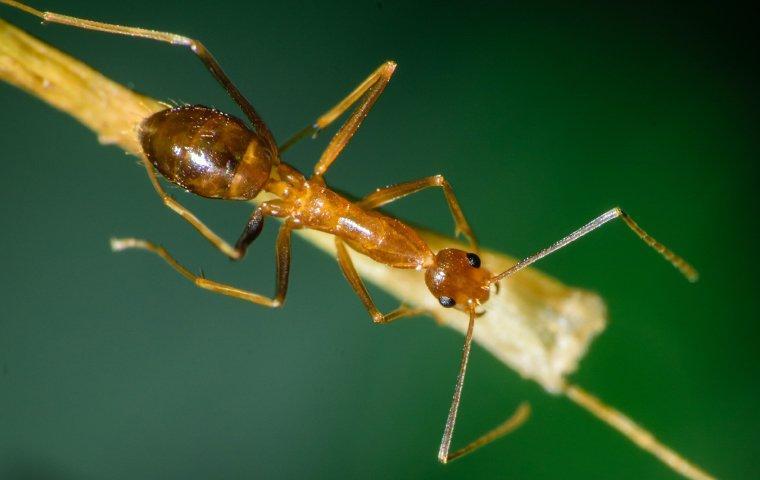 pharaoh ant crawling on stick