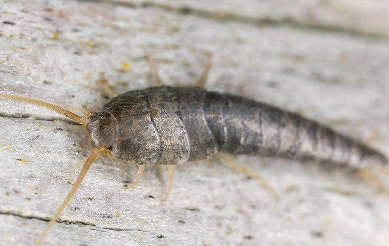 a silverfish crawling on a wall