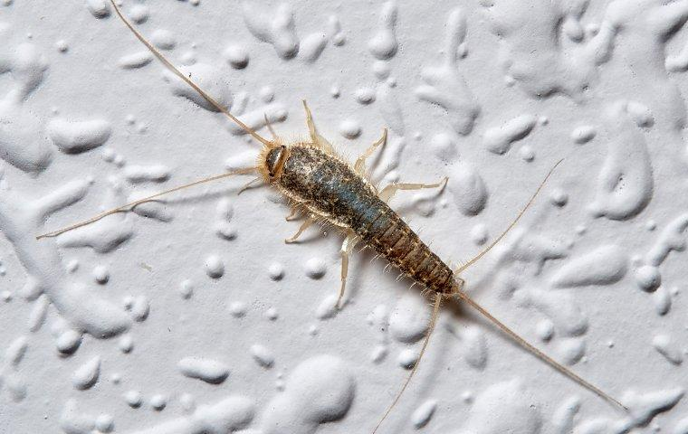 silverfish in house