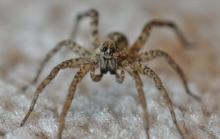 a wolf spider in a livingroom