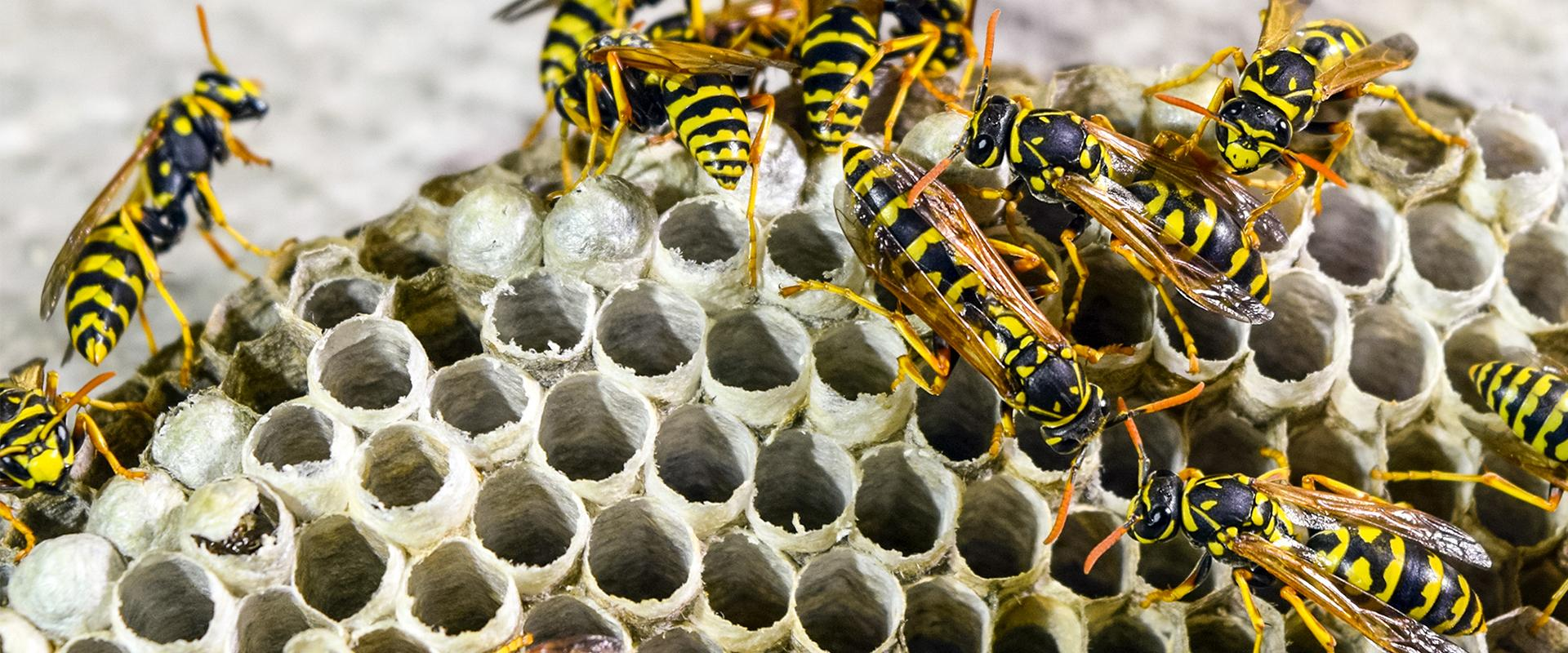 many wasps building a nest