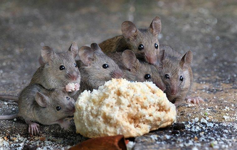 six mice eating a biscuit