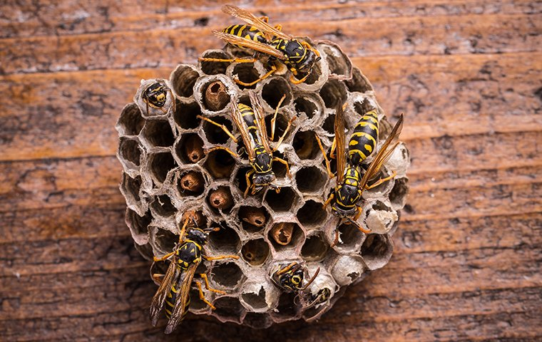 several wasps crawling on their nest
