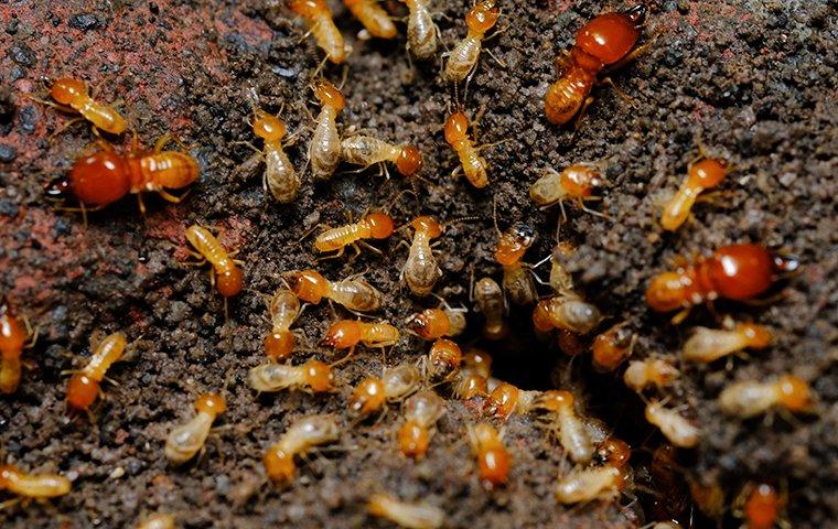 dozens of termites crawling on chewed up wood