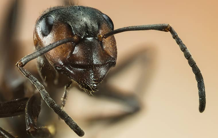 close up of an ant in a home in baltimore