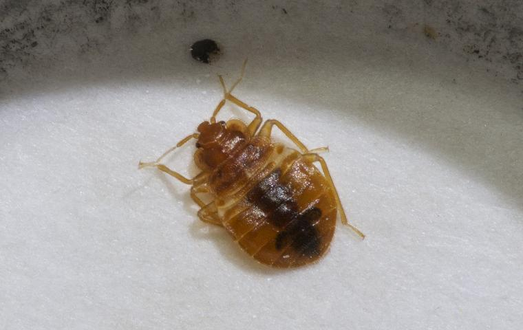 a bed bug on a mattress in baltimore maryland
