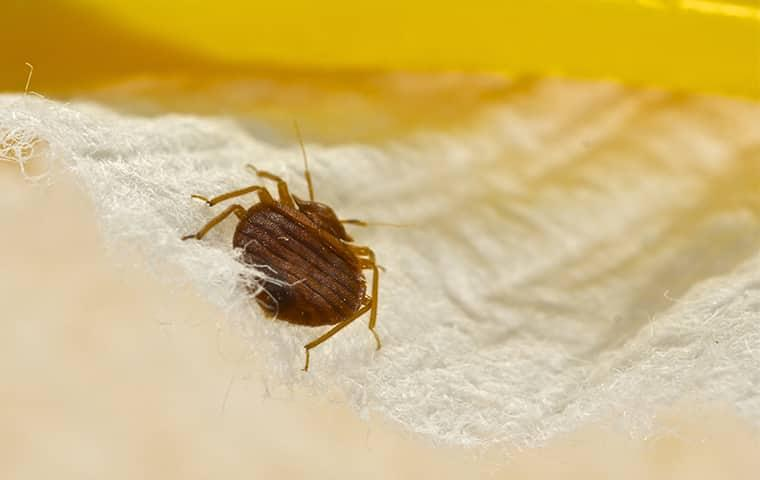 a full grown adult bed bug crawling along the linen bedding in a d.c. home