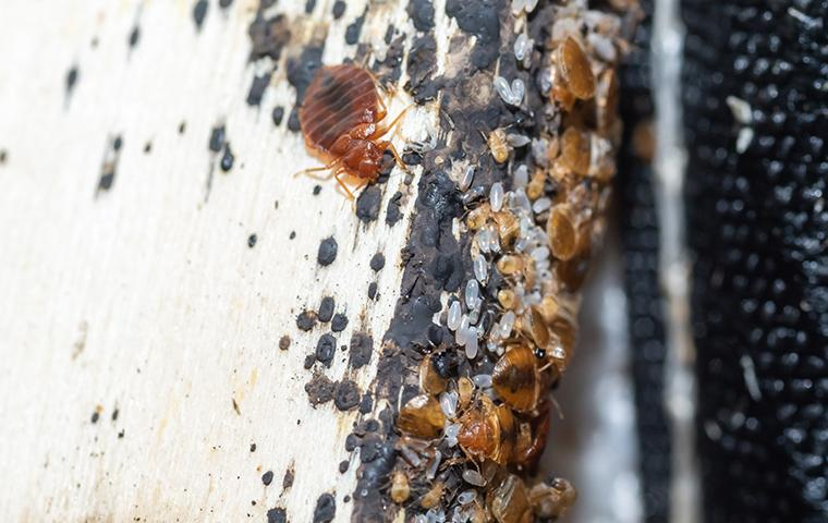 an infestation of bed bugs on a bed