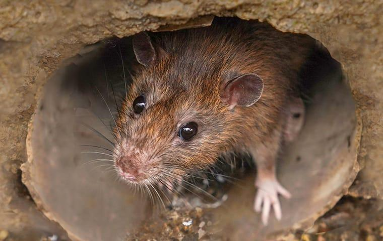 a brown rat in a sewer on a baltimore maryland property