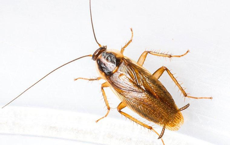 german cockroach crawling on a glass bowl