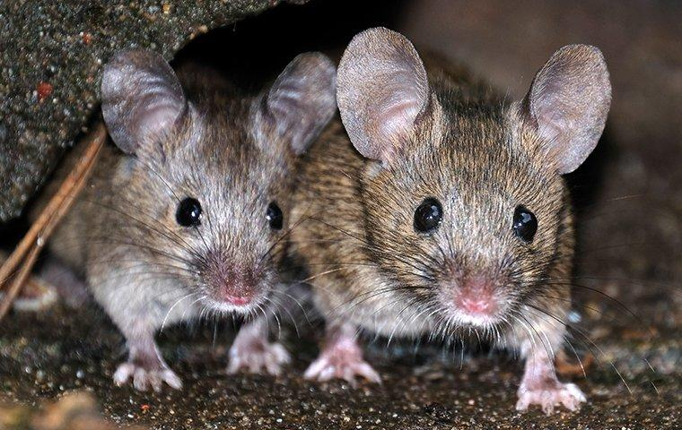 house mice crawling through a basement