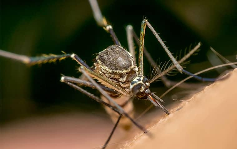 the long legs of a mosquito are perched on the hairy skin of a dc resident as the msquito is biting through the skin