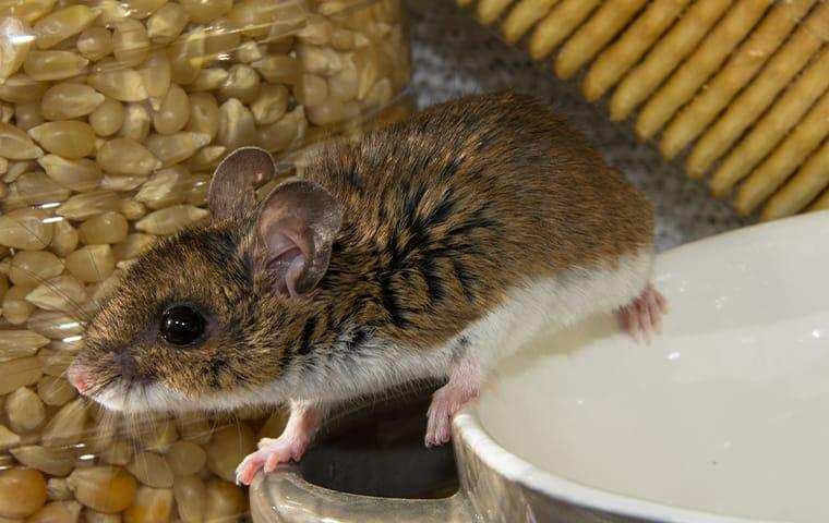 a house mouse infestation in a washington state home