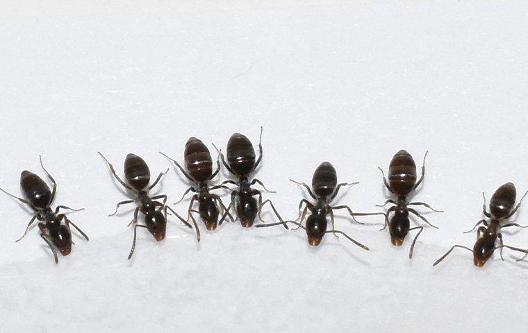 odorous house ants eating sugar