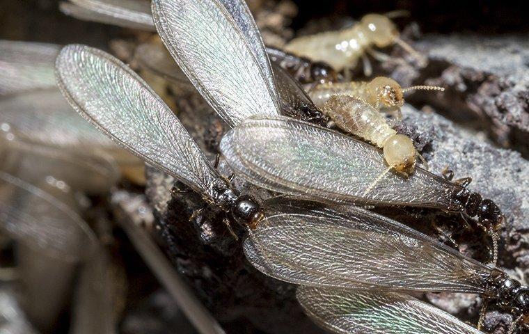 termite swarming near a home