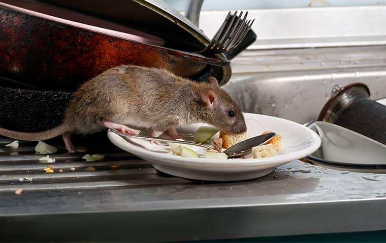 a rat eating food off of a plate in a home in washington dc