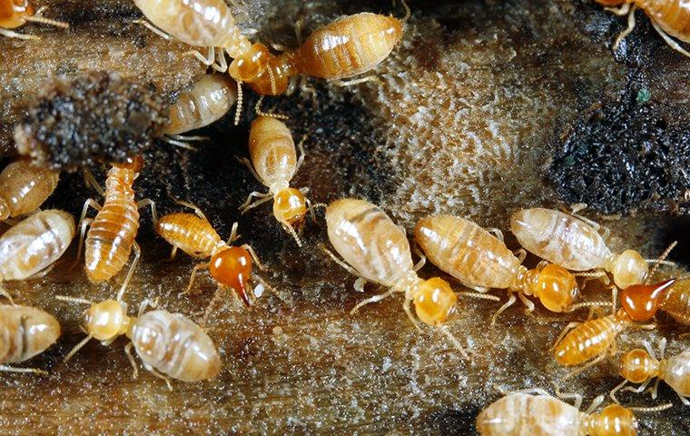 termites chewing wood