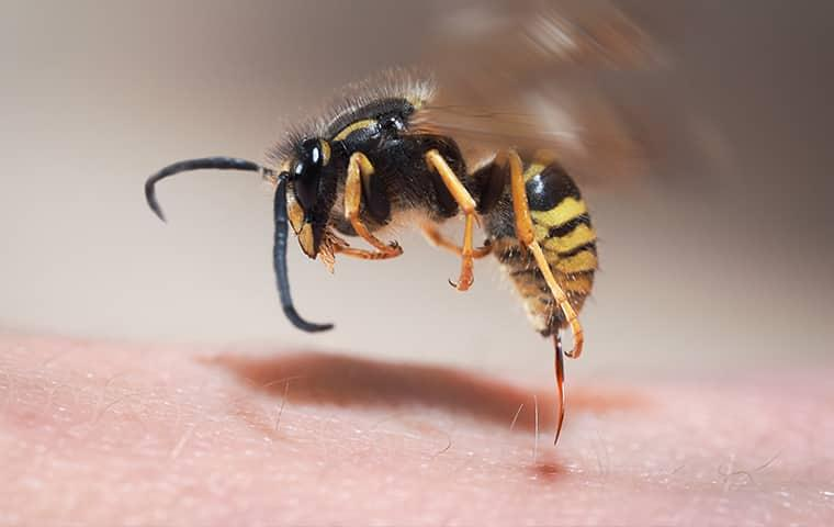 a freeze shot of an angry black and yellow wasp in full position to sting a baltimore resident