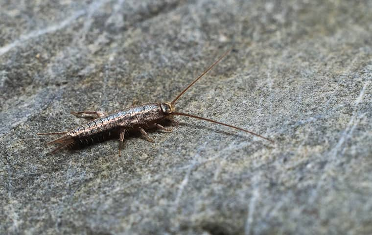 a silverfish inside of a home in fulton