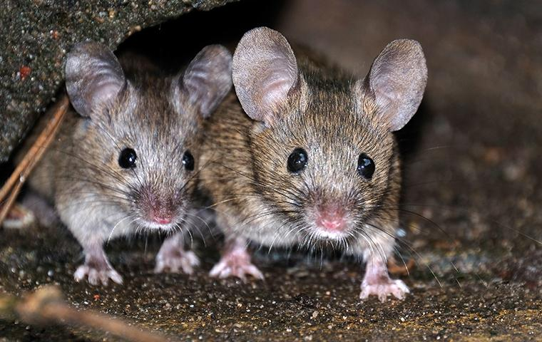 two rats inside of a home in cockeysville