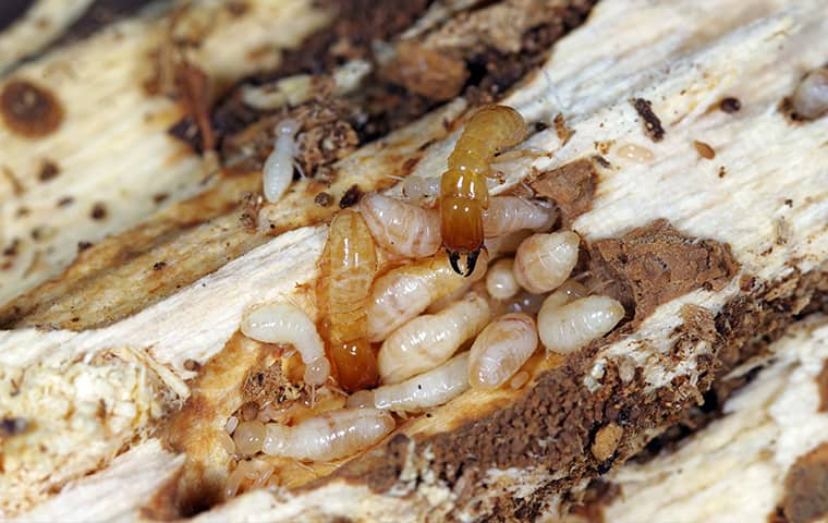 termites crawling on ruined wood in dundalk