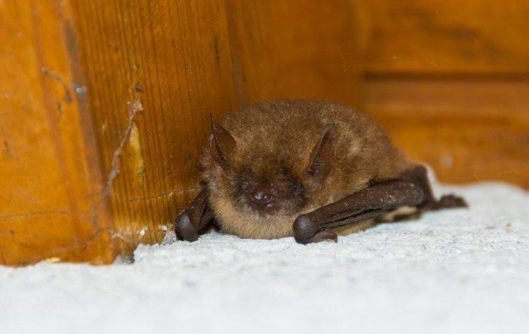 little bat in house