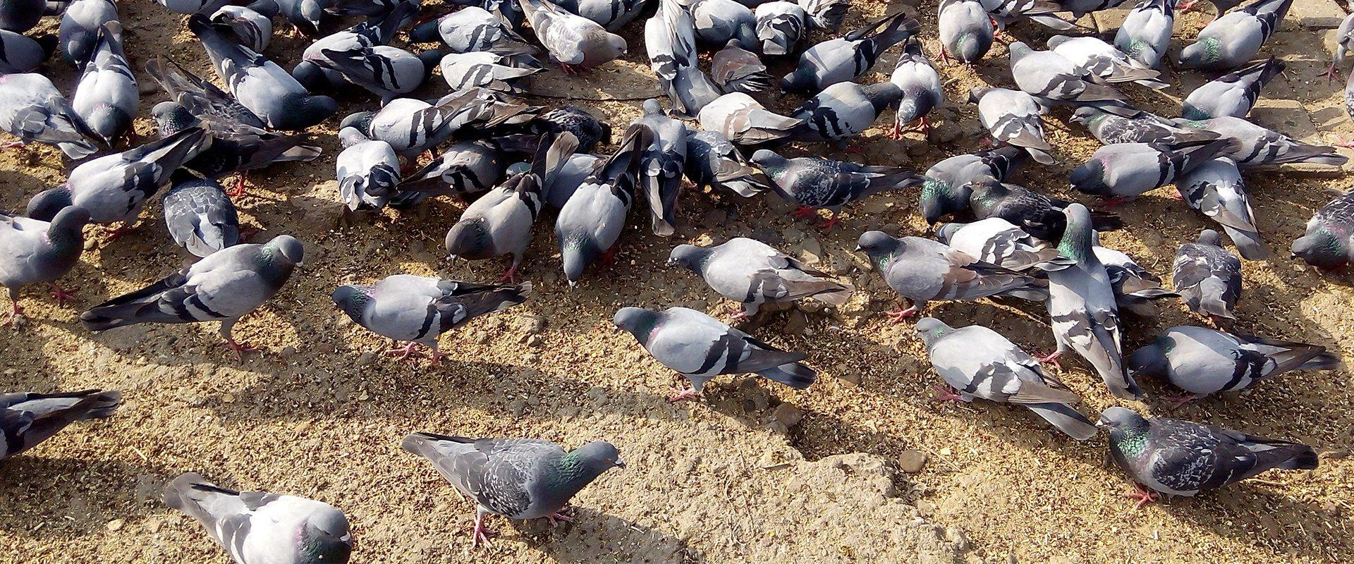 a large gathering of pigeons