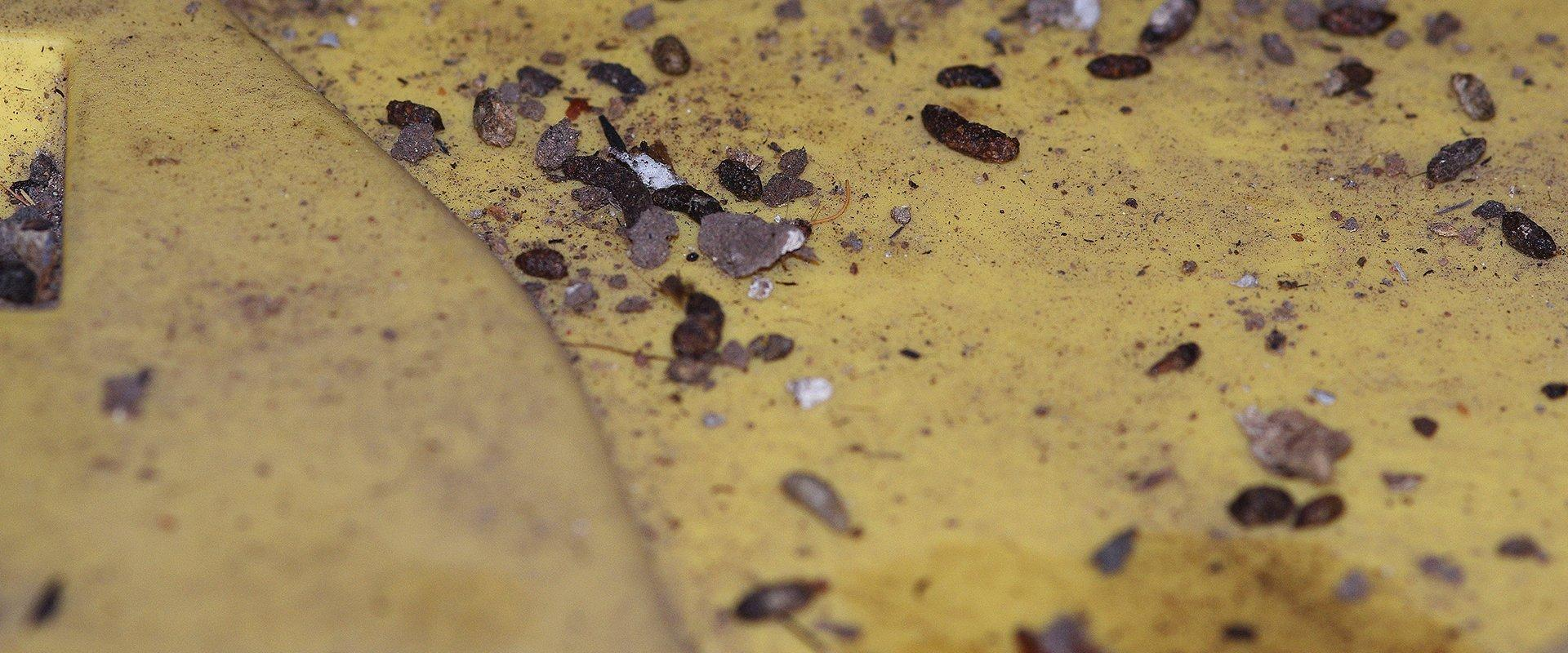 mouse droppings around a home