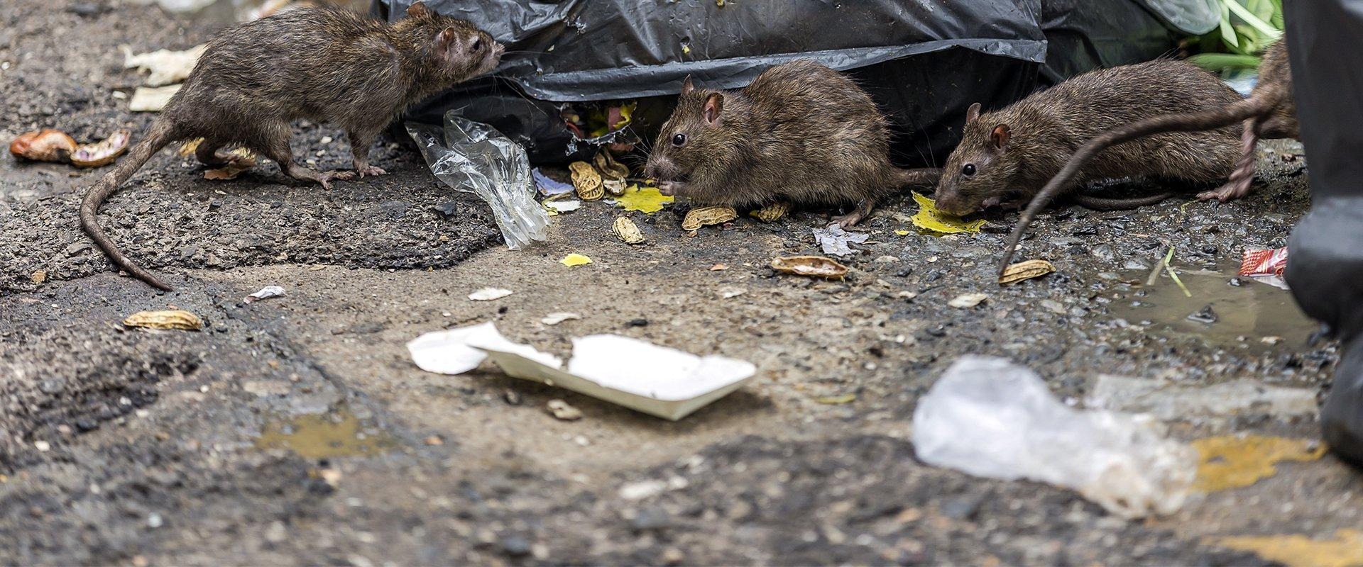 close up of rats eating trash