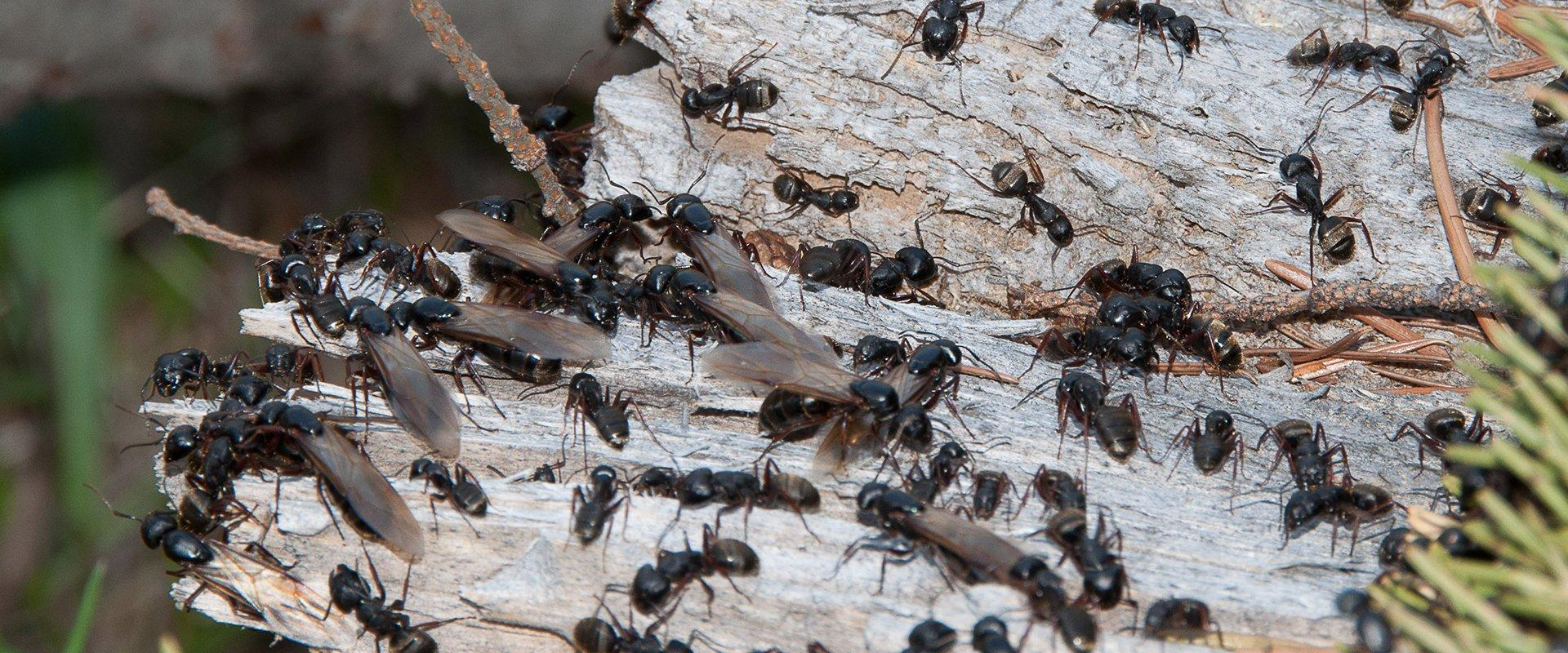 carpenter ants on wood