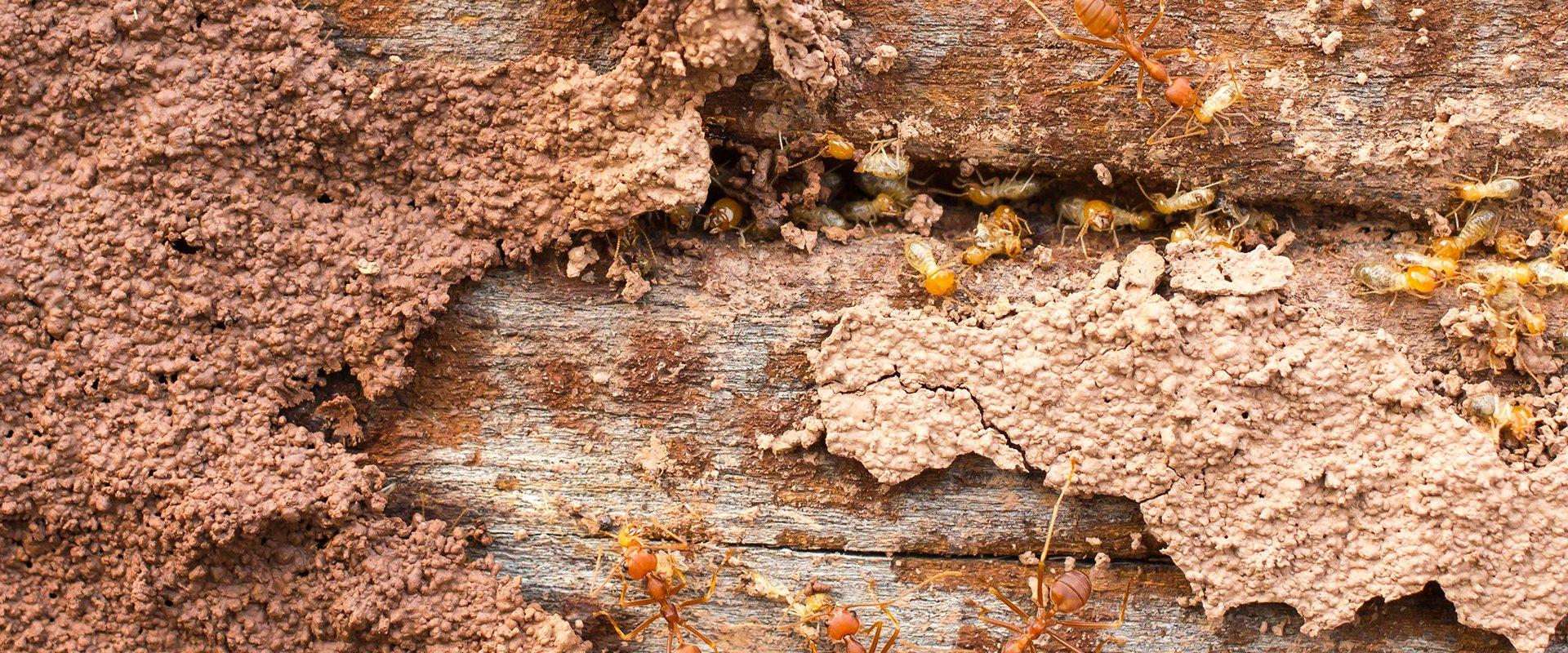 termites and red ants together on wood
