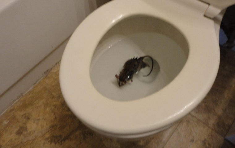 drowned mouse in bathroom