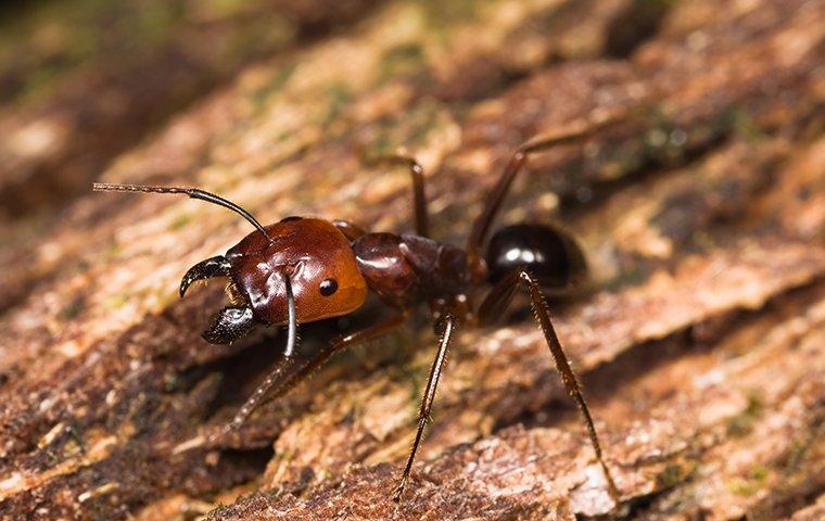 a big head ant up close