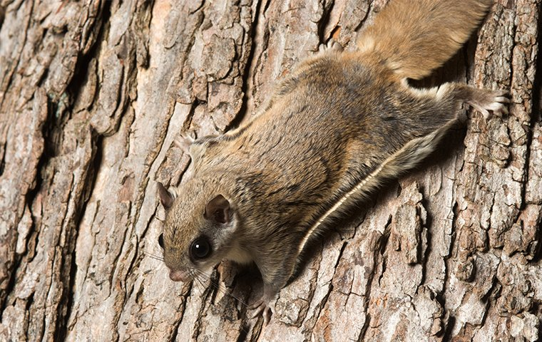 a flying squirrel on a tree