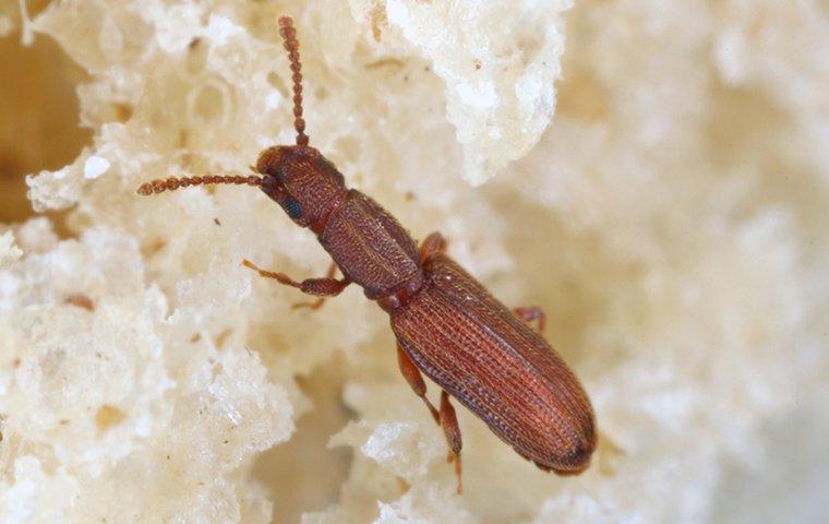 drugstore beetle in bread
