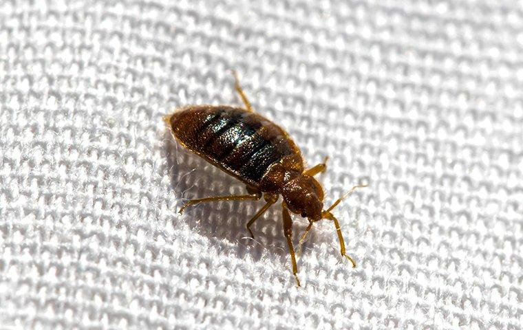 bed bugs crawling on sheets in a home