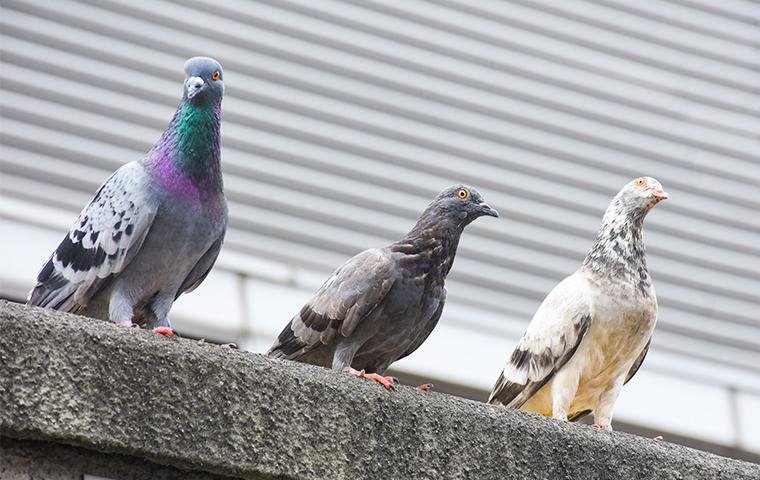 three pigeons standing on cement ledge