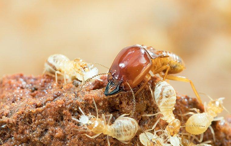 termites damaging wood in building