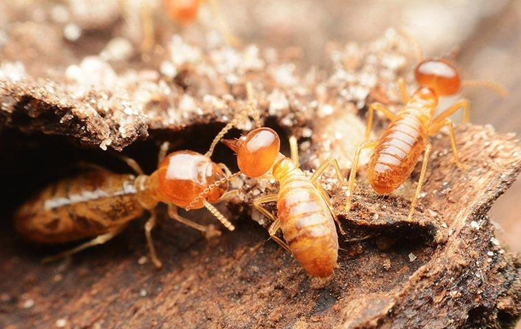 a comonly of termites on wooden flooring