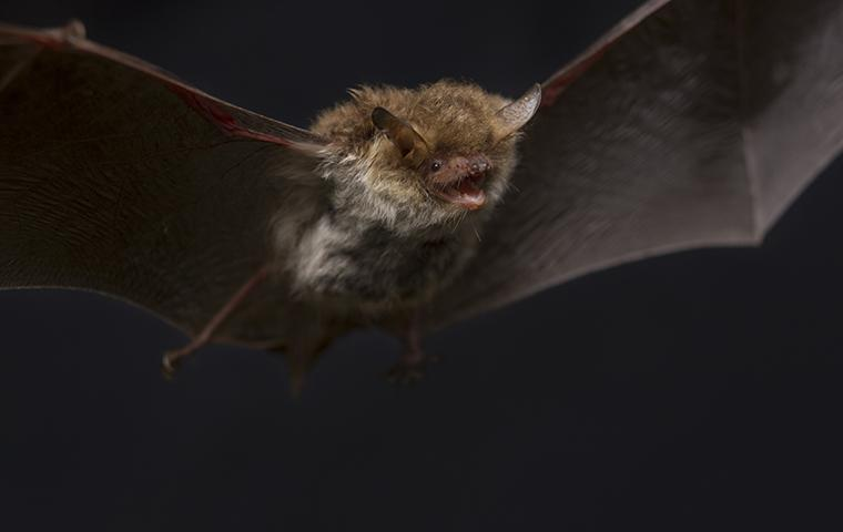 a bat flying