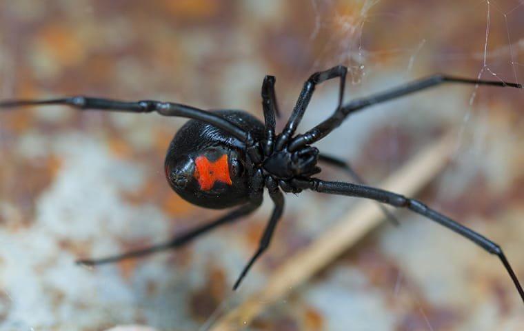 black widow up close