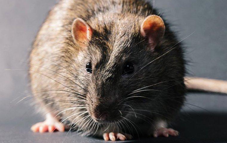 rat up close
