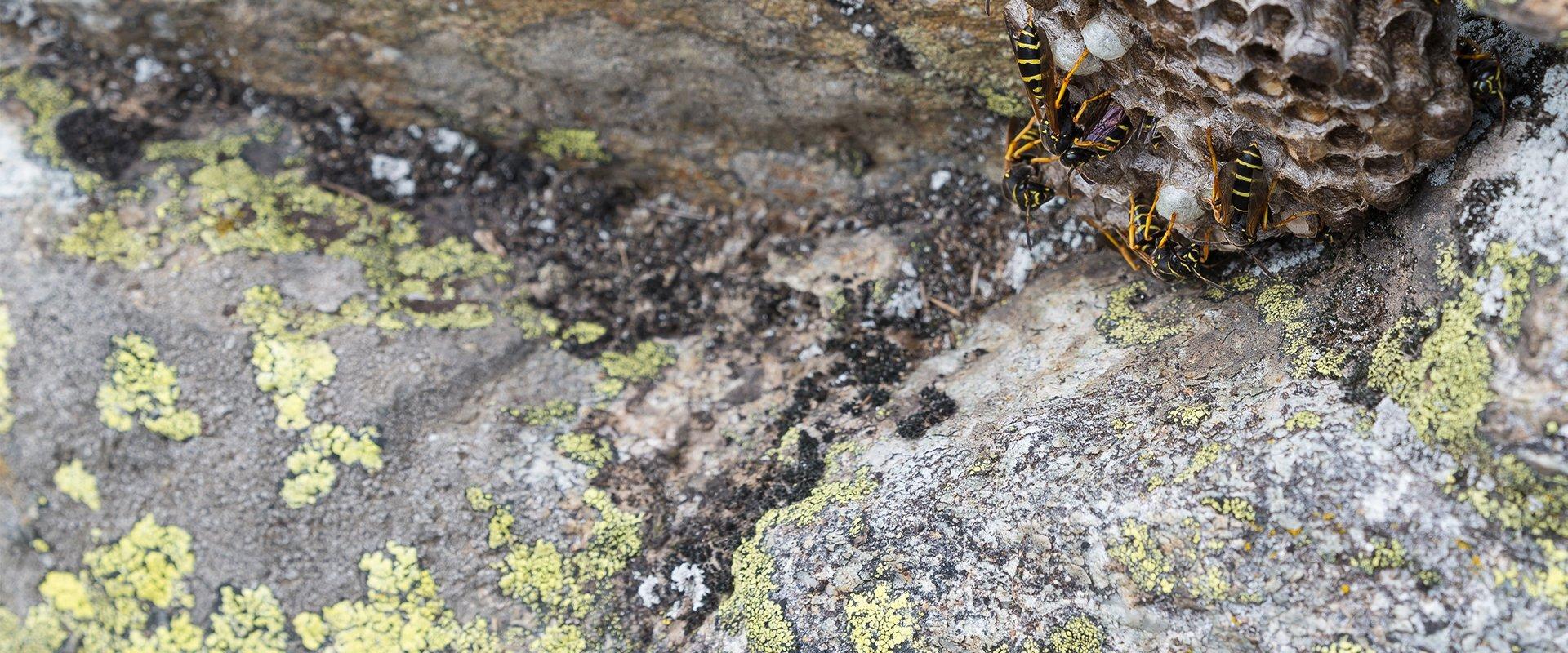 wasps in a nest under rocks