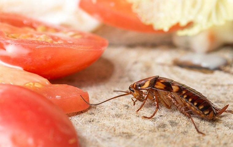 cockroach near tomatoes