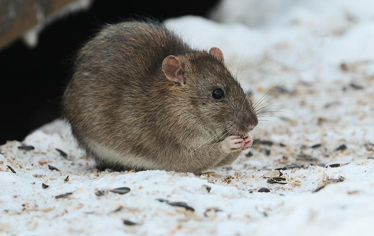 large norway rat