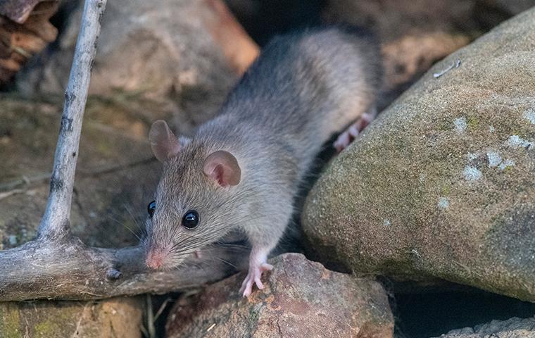 roof rat on rocks