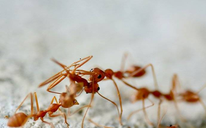 fire ants on ant hill