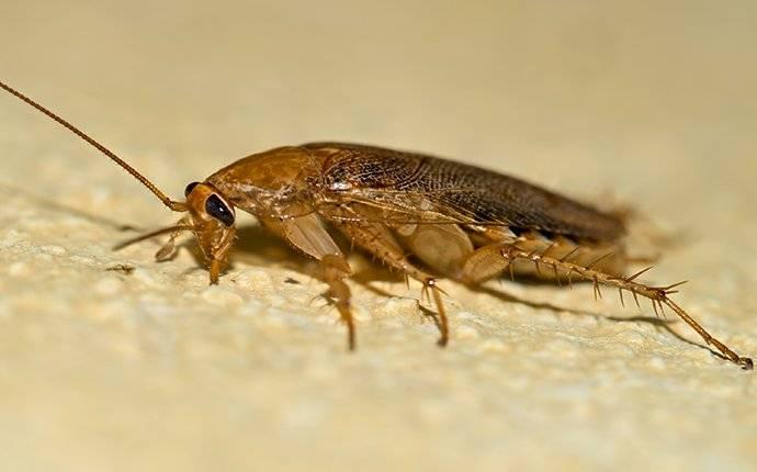 german cockroach in home