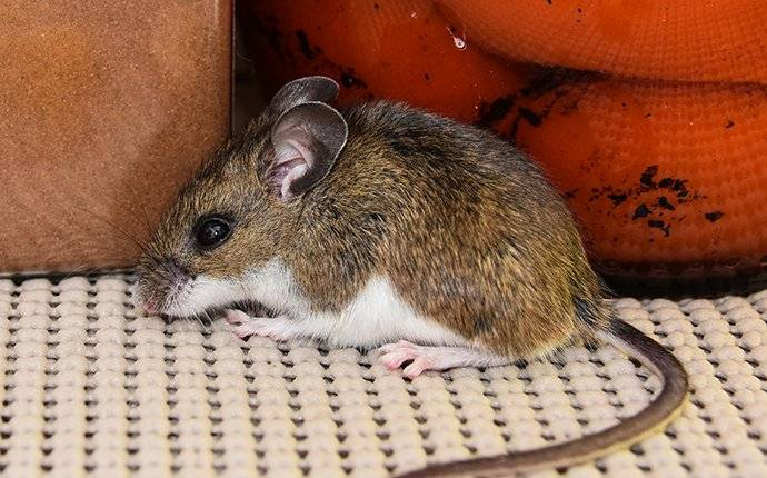 a house mouse in a kitchen pantry eating food